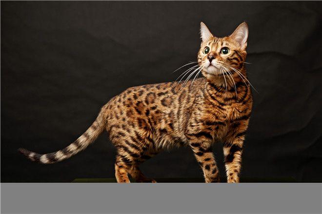30 Fabulous Bengal Cat Photos That Look Like Tigers Bengal Cat