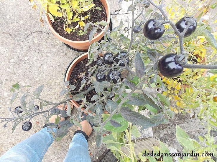 Indigo blue tomatoes- birkenstock