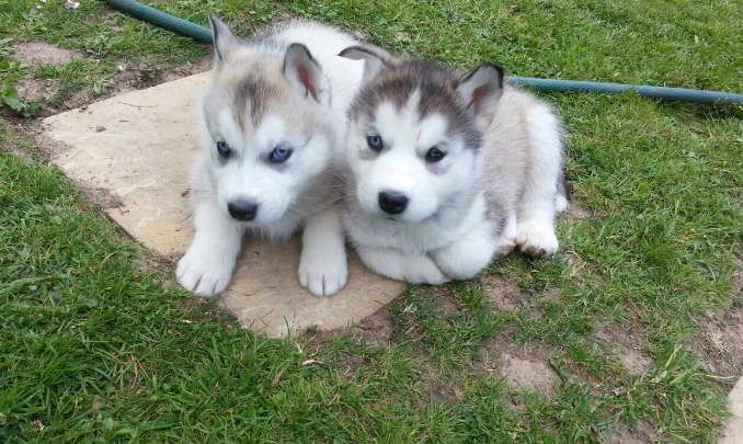 Alaskan Malamute Siberian Husky Mix Puppies Fofinho