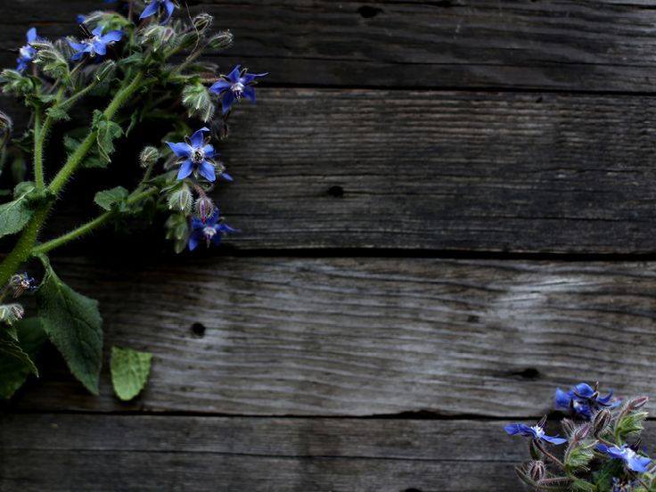 The Slowpoke: BORAGE // For attracting bees, companion planting, food, medicine and its good looks! #gardening #beneficial #plants #organic