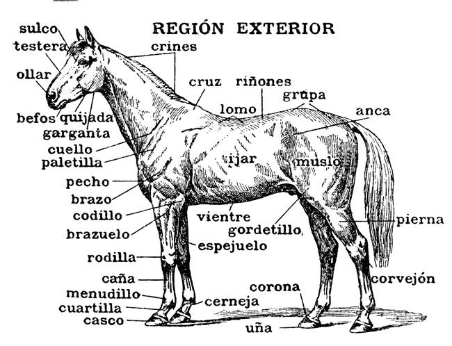 horse anatomy coloring pages - photo#22