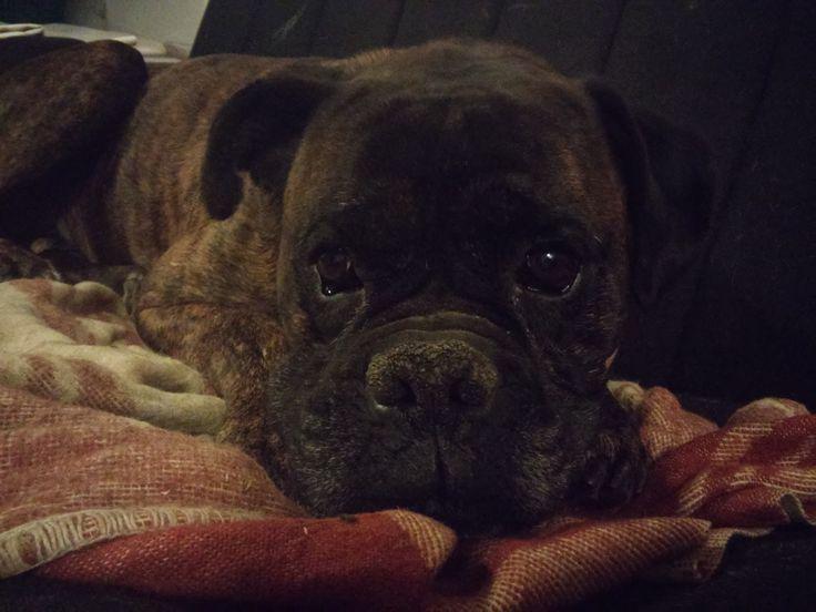 Hi I'm cute. #littlebigdog #boxer #dog #cute #wuffwuff on PicsSAE  http://picssae.com?social-gallery-image=100-cuteness-littlebigdog