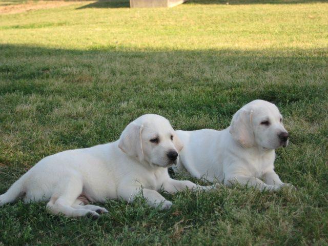white lab puppies for sale near Augusta, GA