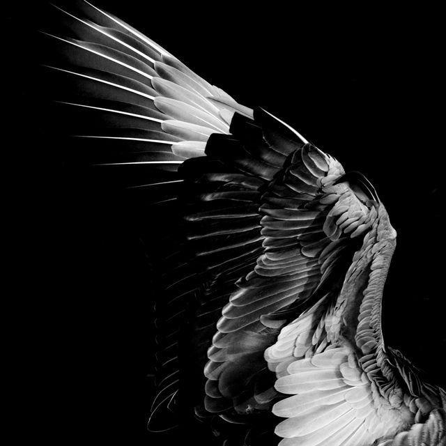 ハクチョウの羽