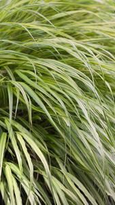 Hakonechloa Macra Aureola Golden Hakonechloa Ornamental Grass for sale online with UK and Ireland delivery.