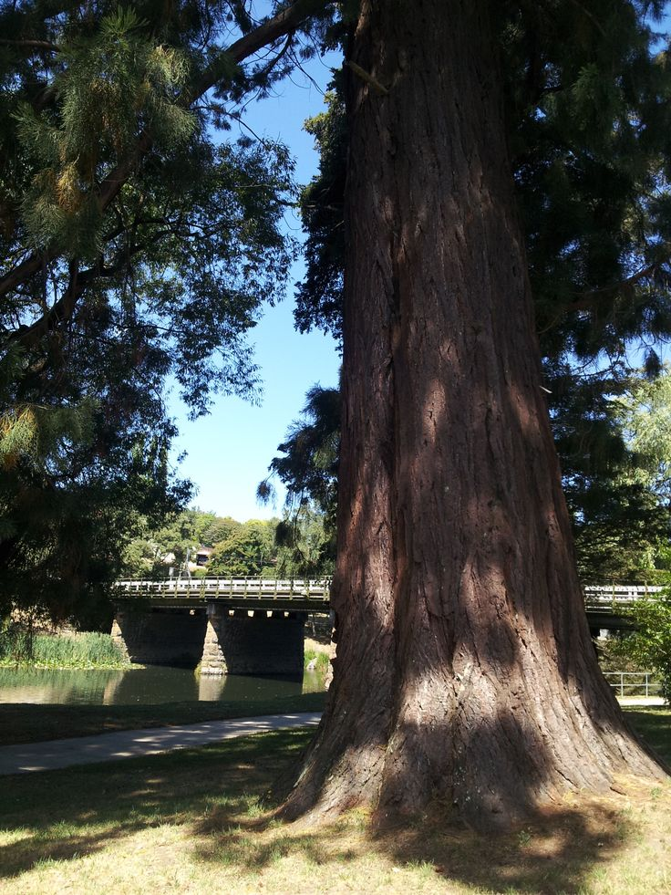A baby redwood in Deloraine, Tasmania