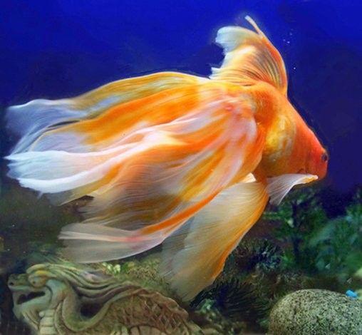 veiltail goldfish | Короткое яйцеобразное или шаровидное ...