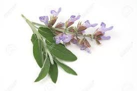 Výsledek obrázku pro Salvia officinalis