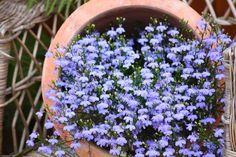 Männertreu-Blaue Lobelie - ein toller Lückenfüller im Balkonkasten