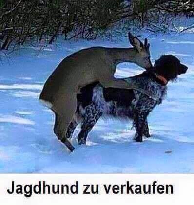 Jagdhund zu verkaufen