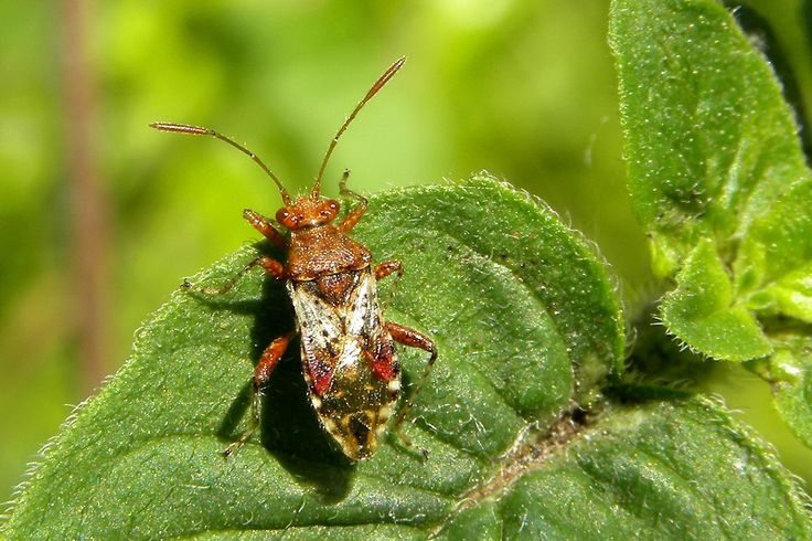A Scentless Plant Bug (Rhopalus subrufus)