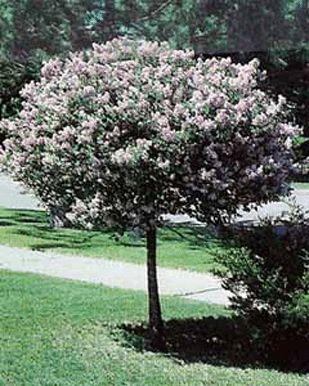 Best 25 dwarf hydrangea ideas on pinterest for Dwarf decorative trees