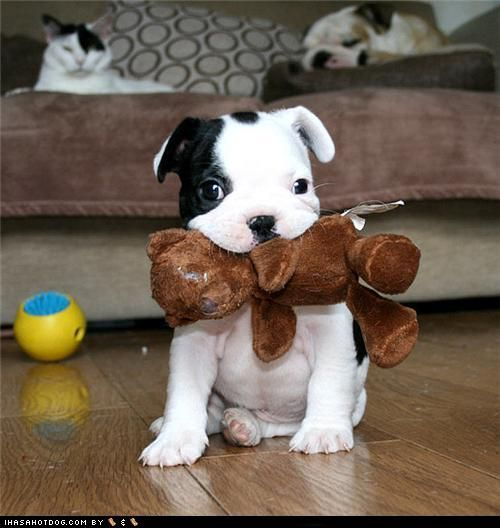 Will YOU play with me?: Happy Father Day, Bulldogs Puppies, Doggie, Teddy Bears, Pet, Pitbull, Pit Bull, Baby, Adorable Animal
