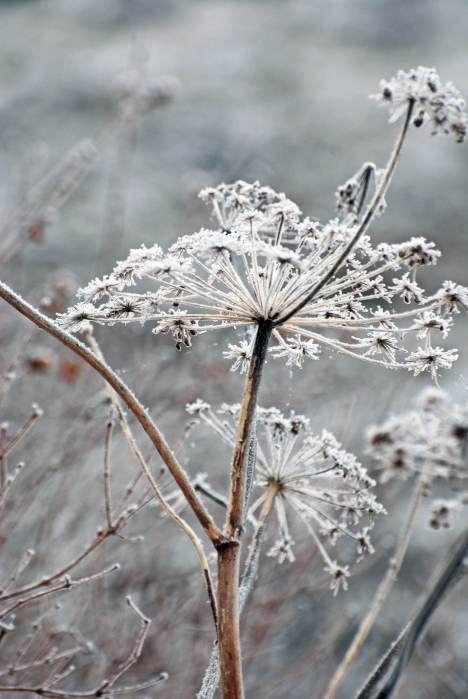 Plante prise par le givre en hiver dans un jardin.