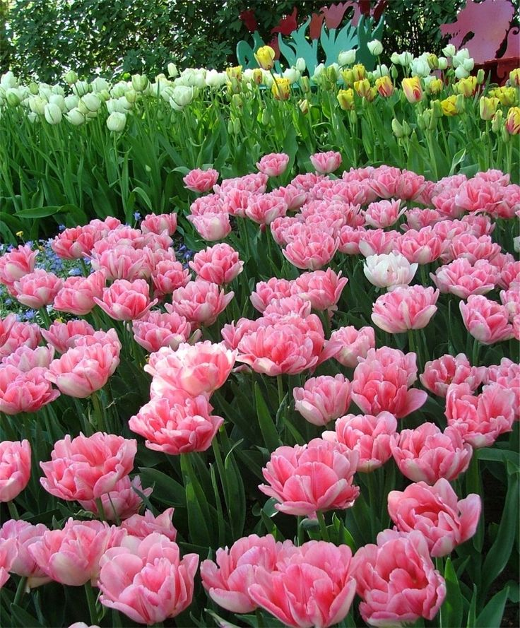 Double Early Tulip Foxtrot--This acclaimed fully double bloom is varying shades of charming old rose with shimmering white highlights. It is even more alluring underplanted with an electric carpet of Anemone blanda Blue Shades.