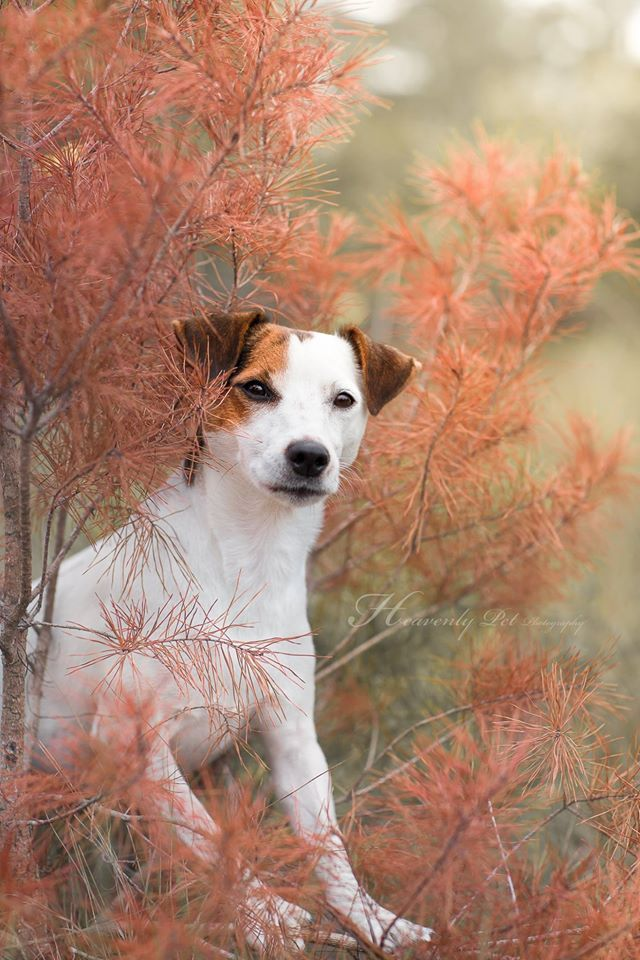 Jack Russell Terrier Fall Colors... by Heavenly Pet Photography