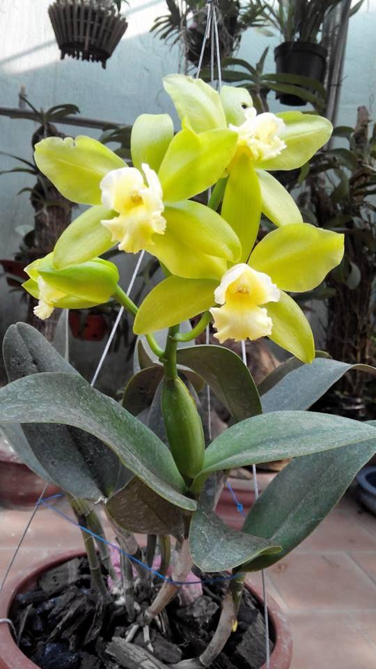 hoa lan Đỗ Yên - Thái Nguyên