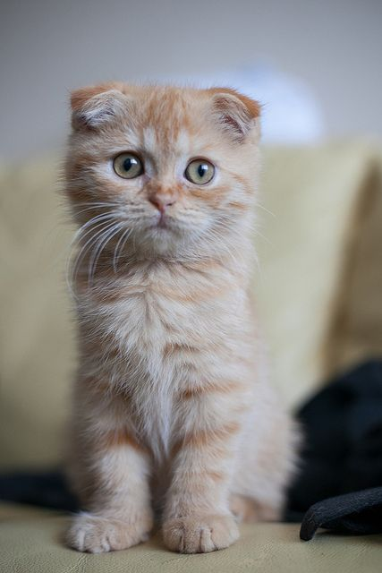 I love this kitten's ears and beautiful coloring. So sweet!!!!
