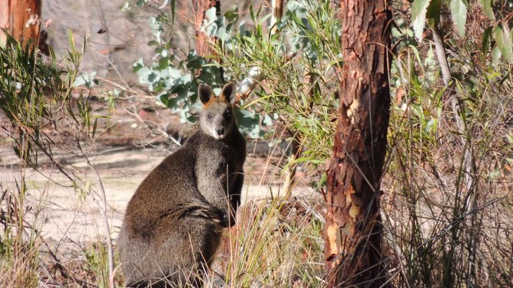 A wallaby in the Grampians by JillB