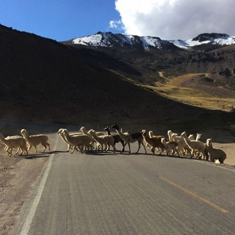 Llamas and alpacas crossing the road. Alpaca wool has 22 natural colors, but white is the most sought out #Peru #Arequipa #ColcaCanyon #Colca #RTW #JulesVernex2 More on our stay in Peru in our travel blog julesvernex2.wordpress.com