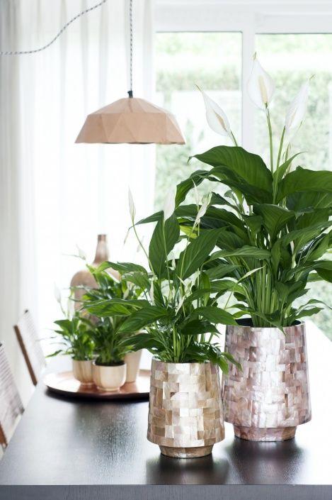 Spathiphyllum - Peace Lily - Fredskalla. Blomning mars-september. Familj Araceae, Kallaväxter. Ursprung Colombia, Venezuela. Placeras ljust till halvskuggigt. Anpassningsbar gällande ljusintensitet. Trivs i rumstemperatur, inte under 16'C. Vattnas måttligt med rumstempererat avhärdat vatten vår-höst. Sparsammare oktober-januari. Duscha eller sörj för luftfuktighet vid värme. Innehåller ämnen som orsakar hud- och slemhinneirritation.
