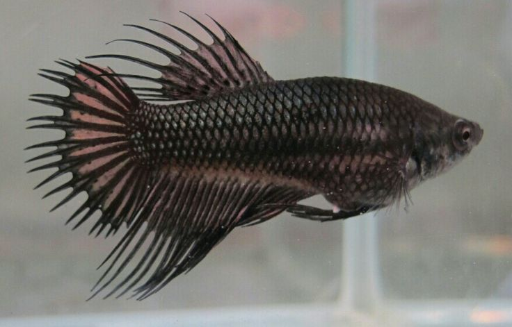 17 best images about betta on pinterest black gold for Crown betta fish