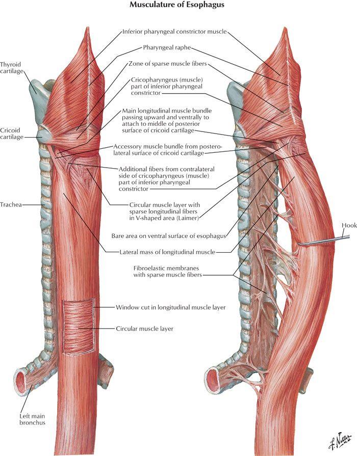 Musculature Of Esophagus Anatomy Diagram Anatomynote