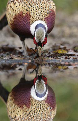 ring-necked pheasant photo by mark hancox http://www.amsterdamgreenoffers.com/fishing-hunting/