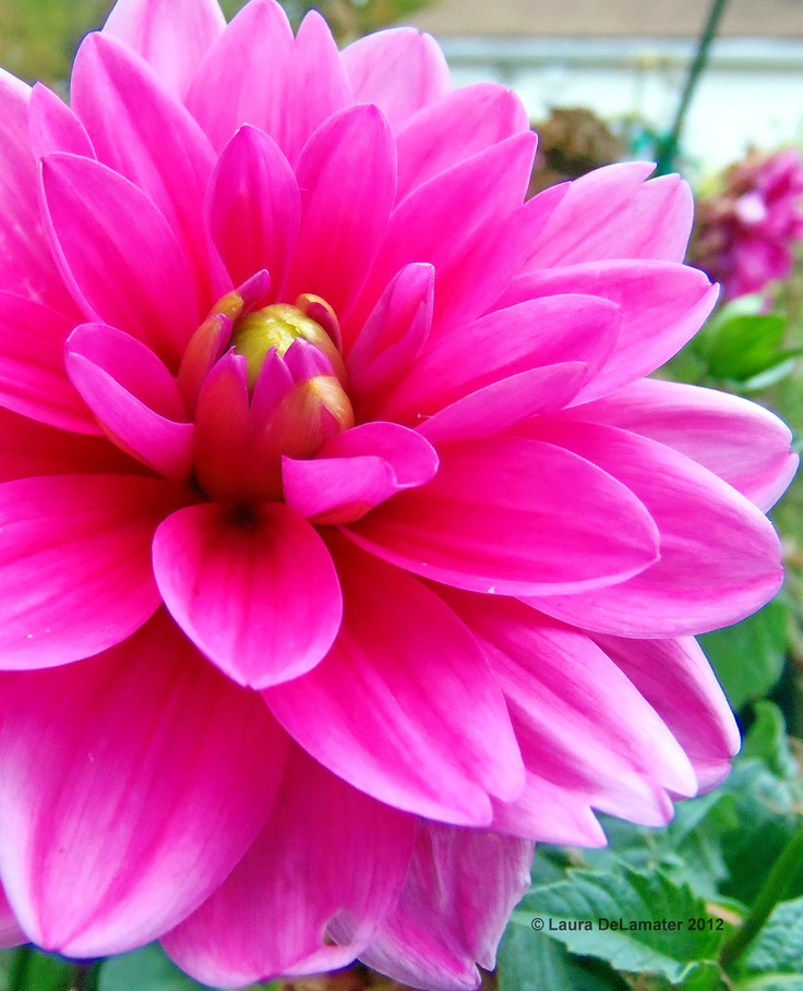 Lovely Dahlia One Of The Most Beautiful Flowers Ever