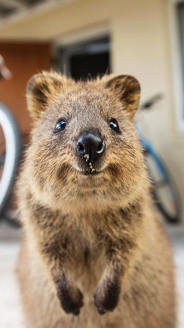 Quokka is a marsupial found in Australia. They are known for their inquisitive nature – quokkas have only few natural predators, which allows them to be less fearful around other creatures, and, as it turns out, even approach humans for a selfie or a hug. Still, the species is listed as 'vulnerable'.
