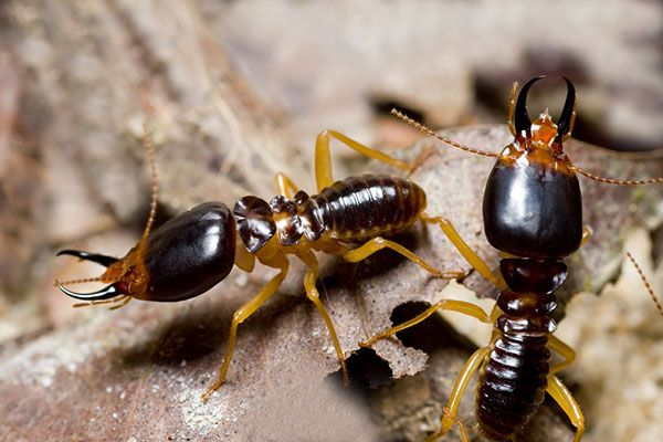 Getting to Know soldier Termites   A soldier termite's job is to protect the colony. Your job is to protect your home. Learn more about termites and how to check your home for damage. #TerminixBlog
