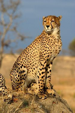 Elguepardo(Acinonyx jubatus), también llamado chita.