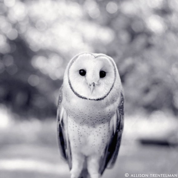 "Owl Art Print - ""Newton the Barn Owl"" #Etsy: Animal Photography, Owl Print, Black And White, Children, Barnowl, Woodland Animals, Barn Owls"