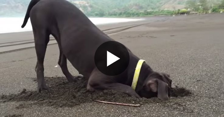 VIDEO: He's Recording A Dog At The Beach And Can't Believe His Eyes When She Won't Stop Digging, Until... -      Canines like to burrow and mutts like to play, so it was just normal that Sukhi started diving in the sand on a shoreline at Surfcamp Guanico in ...