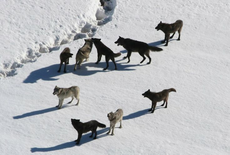 Timber Wolves on the tundra