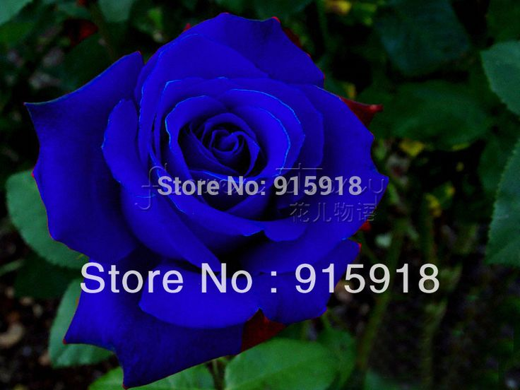 (FREE SHIPPING ,NOW BUY ONE GET ONE FREE ,GET 400Seeds )Chinese Blue Rose Seeds Your Lover Plant For Sweet Lover