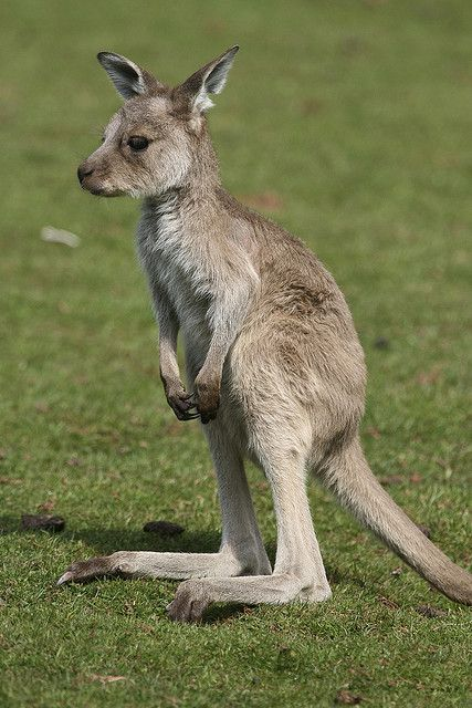 Baby Kangaroo | Flickr: Intercambio de fotos