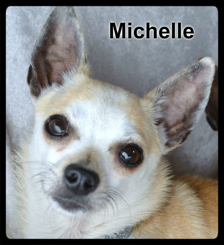 Meet Michelle a Petfinder adoptable Chihuahua Dog | Simi Valley, CA | ~~~ Weight: About 7 lbs ~~~ Approximate Birth date: 02/11/12 ~~~ Please ALWAYS check our website directly to see if this dog is still available.