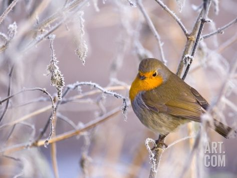 Robin among frost covered branches Photographic Print by Andrew Parkinson at Art.com