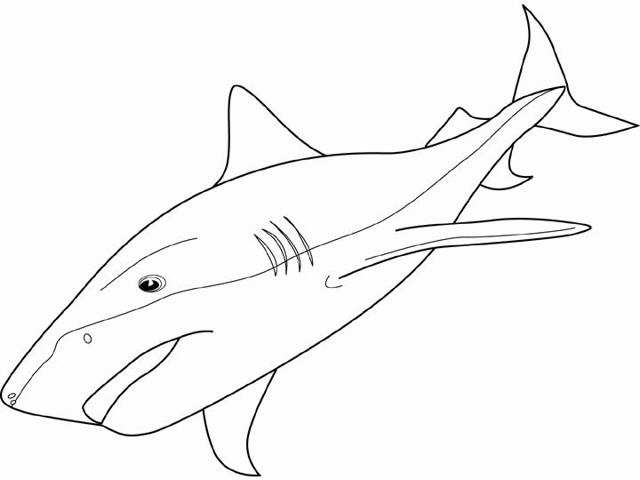 69 best Ocean Life images on Pinterest Ocean life, Ocean unit and - copy coloring page of a tiger shark