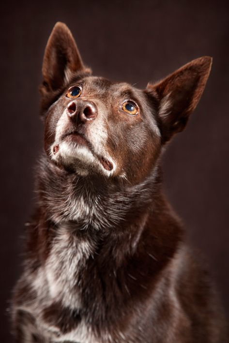 Cute Red Dog. Tash. Portrait. Studio.