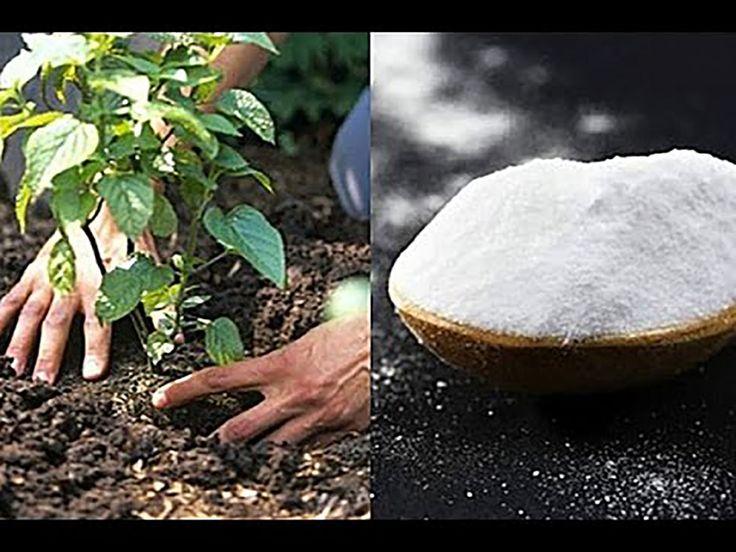 7 idei formidabile de folosire în grădină a bicarbonatului de sodiu! Memorează-le pe toate pentru că îți vor prinde bine! - Sanatosi.com