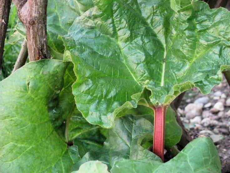 Ízletes levélnyeléért termesztjük a tavasz legkorábbi zöldségét, a rebarbarát. Már akkor hajtani kezd, amint a talaj felenged. Házi krémlevest, lepényt, kompótot készíthetünk belőle.