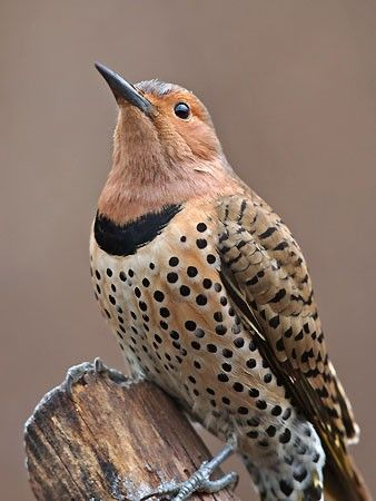 Female Northern Flicker...I looked at this and wondered why I am so attracted by birds....and I realized it's because they are beautiful and can fly away at any time.