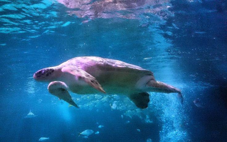 """findingneverlandtn: """"Went to #sealifeoberhausen today.  Totally in awe with this little cutie!  #seaturtle #turtle #schildkröte  #meeresschildkröte #oberhausen #aquarium #underwaterphotography #naturephotography #animalphotography #aquaristik #turtlesofinstagram #nature_captures #ocean_lovers #oceanlovers #meeresfotografie"""""""