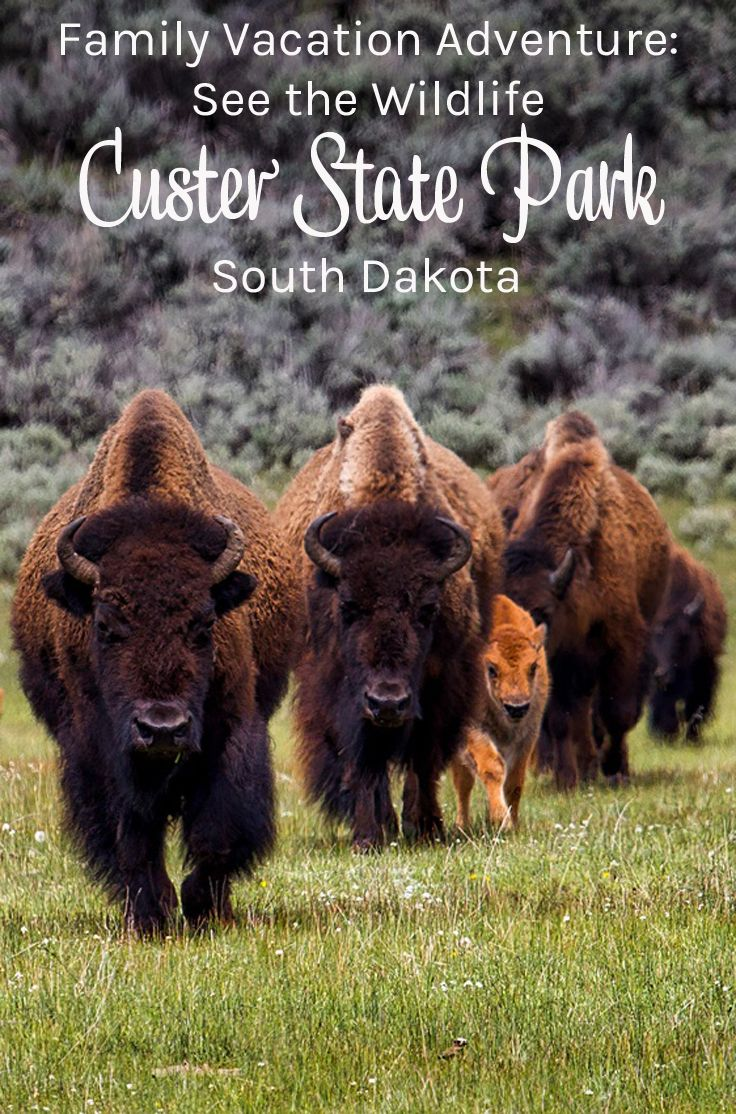 South Dakota  (USA) vacation idea. South Dakota travel, visit Custer State Park. South Dakota road trip: visit Custer State Park, the Black Hills and more. South Dakota vacation with kids – so much to do! South Dakota family adventures: wildlife, history and gold! Custer State Park Wildlife Loop is amazing. Custer State Park in South Dakota has it all!  (ad) #CusterStatePark
