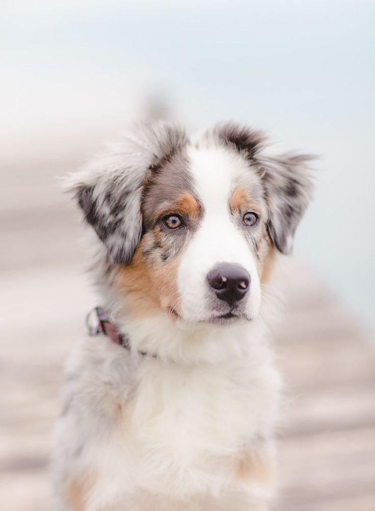 nos amis les chiens 🐕 australian shepherd dog