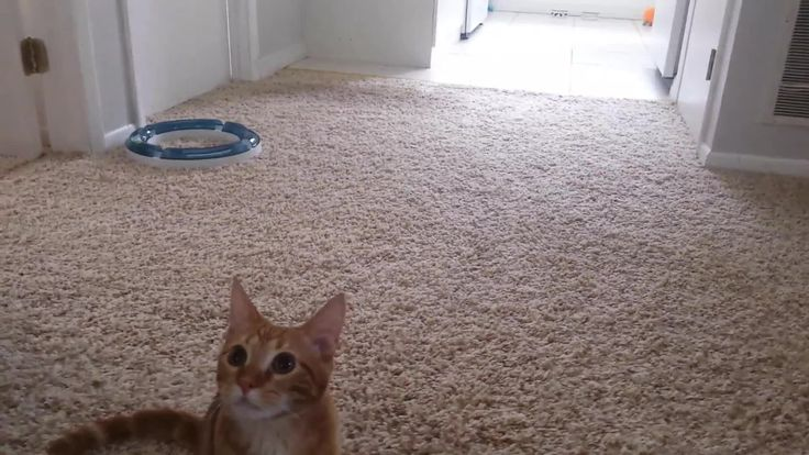 Nacho is not your average cat. He's been a pro at playing fetch since he was a kitten! He even prefers to play with dog toys that have squeakers in them over traditional cat toys.