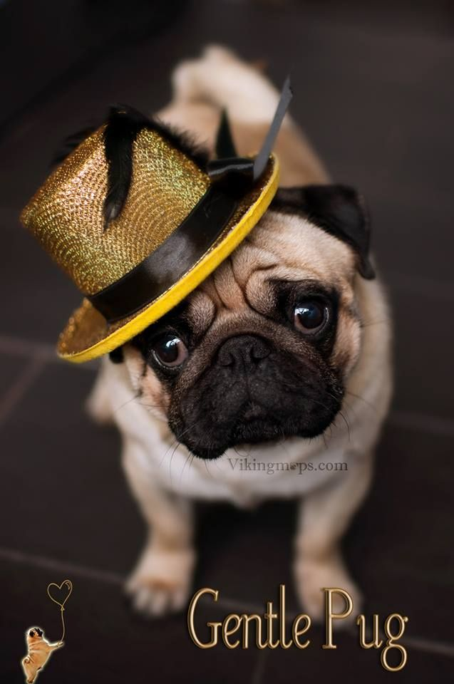 Do I look smashing or what...this pug is too cute!