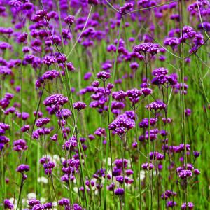 9 great plants for seaside gardens | Verbena bonariensis | Sunset.com